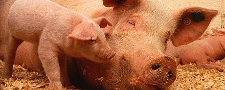 schwein erklärt für kinder