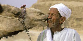 Die Infektionskrankheit Mers wird durch Kamele übertragen.
